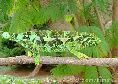 Female Jackson s Chameleon lizard, Chama