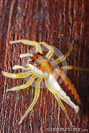 Female Jumper Spider