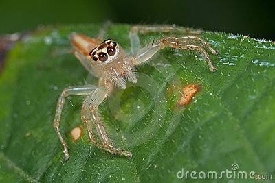 A female jumping spider