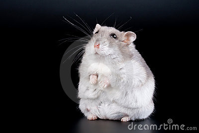 Female Jungar hamster