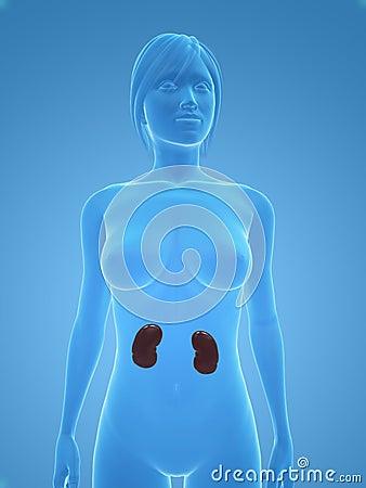 Female kidneys