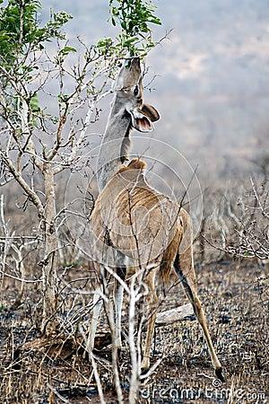 Free Female Kudu Royalty Free Stock Images - 16624939