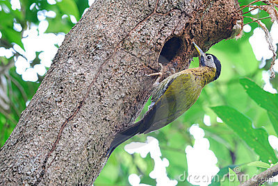 Female laced woodpecker