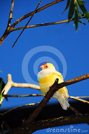 Female Lady Gouldian Finch Bird