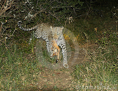 Female leopard runs with her kill
