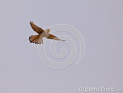 female Lesser Kestrel hovering