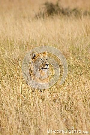Free Female Lion Stock Photo - 13797350