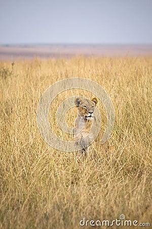 Free Female Lion Stock Photo - 13797360
