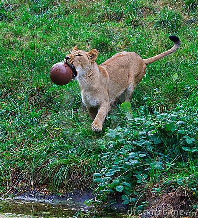 Female Lion with Ball