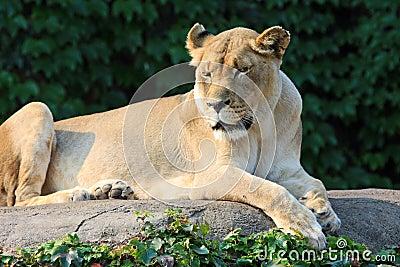 Female lion enjoying the morning sun