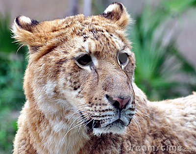 A female Lion face