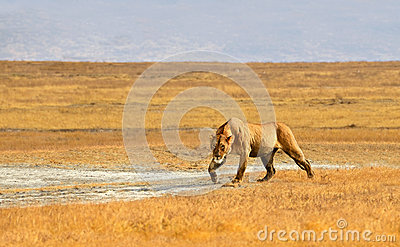 Female Lion Hunting in Grasslands of Ngorongoro