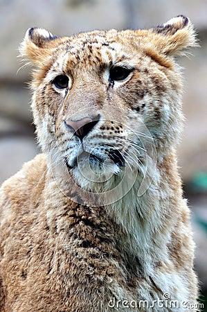 A female Lion portrait