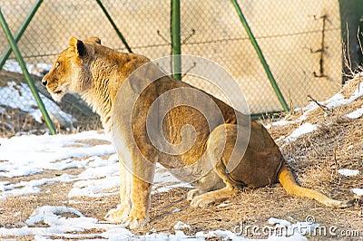 A female lion sit
