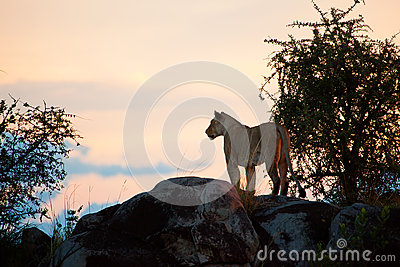 Female lion at sunset. Serengeti, Tanzania