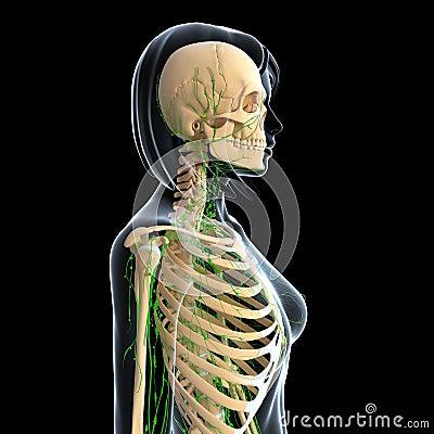 Female anatomy side view