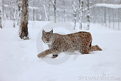 Female Lynx runs