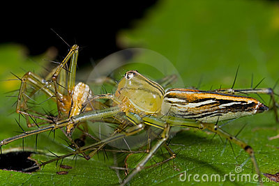 Female lynx spider eating male lynx spider