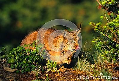 Female Lynx Teching Kitten to Hunt