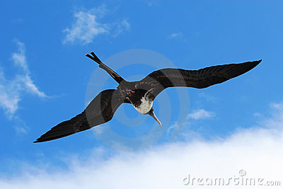 Female magnificent frigatebird soars overhead