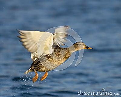 Female Mallard Duck In Flight
