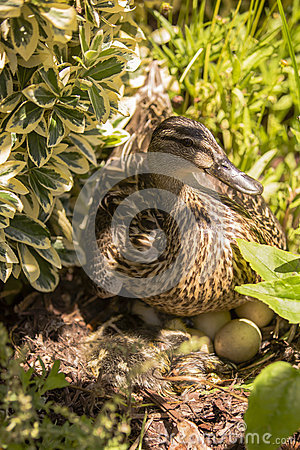 Free Female Mallard Duck Hatching Eggs In Bushes Stock Images - 44043194