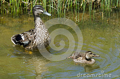 Female Mallard duck and here duckling