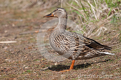 Female Mallard in the Grass sunning itself