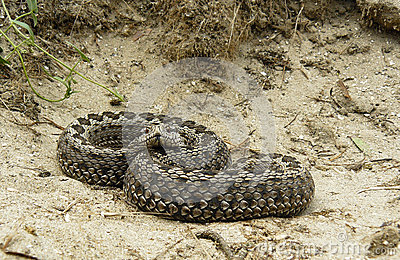 Female Moldavian Steppe Viper