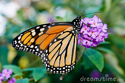 Female Monarch Butterfly (Danaus plexippus)