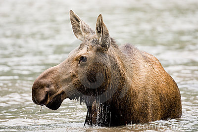 Female Moose