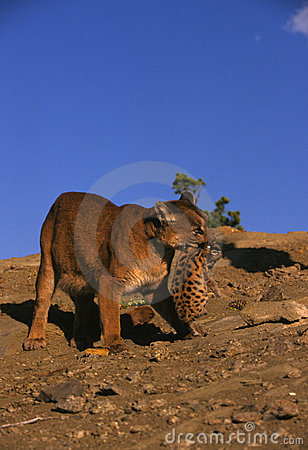 Female Mountain Lion Carrying Cub