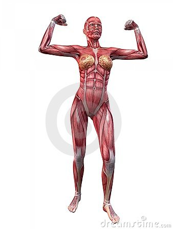 anatomy of female muscular system stock photography - image: 19575592, Muscles