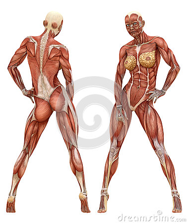 muscular system stock vector - image: 39773572, Muscles