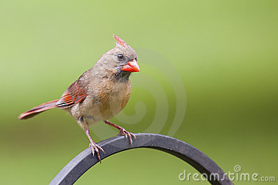 Female Norther Cardinal