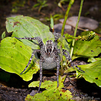 Free Female Of A Spider With A Cocoon Royalty Free Stock Photos - 27111348