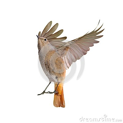 Free Female Of Redstart Bird Flying Isolated Royalty Free Stock Photo - 36360635