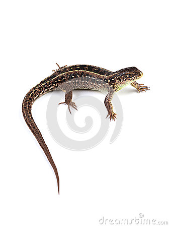 Free Female Of Sand Lizard Lacerta Agilis Isolated On White Stock Photography - 93102322