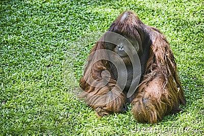 Female orangutan