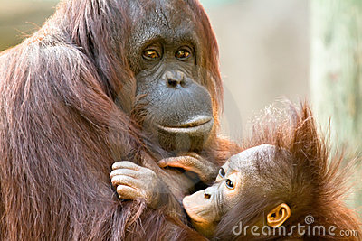 Female Orangutan Feeding Baby
