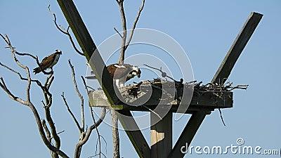 Female Osprey Eating Fish medan hanen ser ut från Nearby Tree lager videofilmer