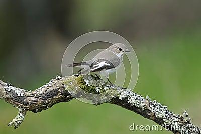 Female Pied Flycatcher