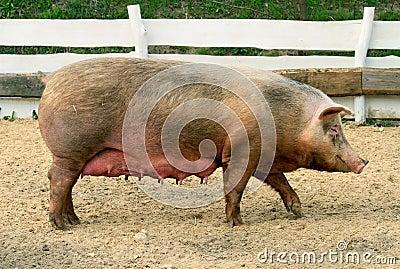 Female Pig