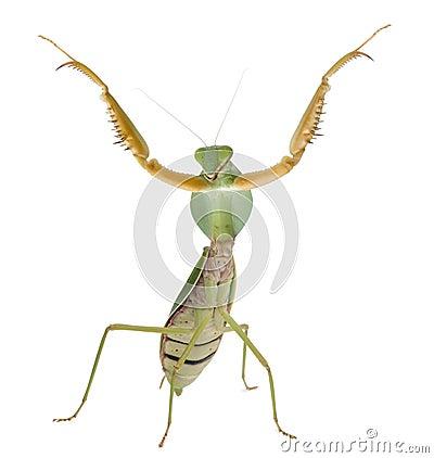 Female Praying Mantis, Rhombodera Basalis