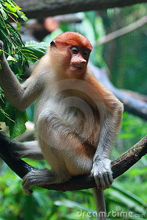 A Female Proboscis Monkey (Bekantan)