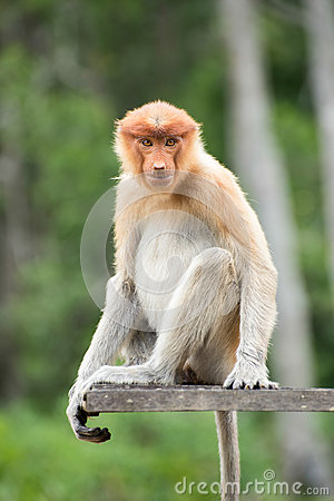 Female proboscis monkey