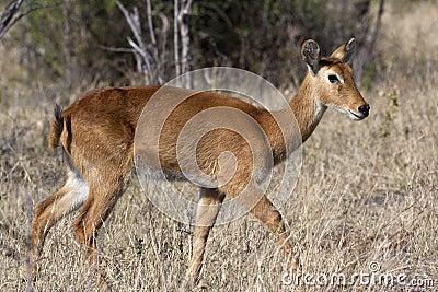 Female Puku Antelope (Kobus vardonii) - Botswana