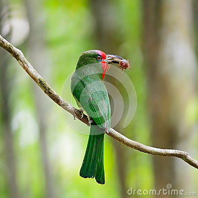 Female Red-bearded Bee-eater