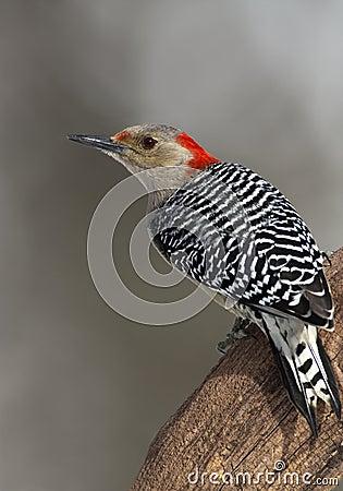 Female red-bellied woodpecker (Melanerpes carolinus)