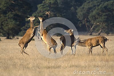 Female red deer fighting over an apple in the National Park De Hoge Veluwe